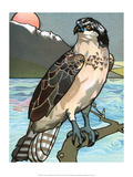 Bird Illustration  The Osprey  1899