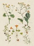 Fleurs Sauvages III