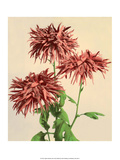 Chrysanthemums  Vintage Japanese Photography