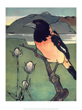 Bird Illustration  The Oriole  1899