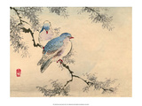 Japanese Blue Headed Doves