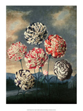 Botanical Print  Group of Carnations