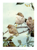 Bird Illustration  The Willow Warbler
