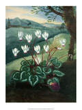 Botanical Print  Cyclamen