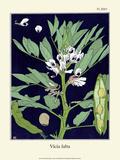 Botanical Print  Broad Bean  1905