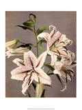 Star Gazer Lilies  Vintage Japanese Photography