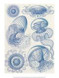 Art Forms of Nature  Leptomedusae