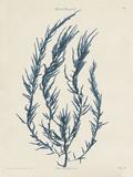Delesseria Hypoglossum