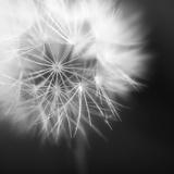 Dandelion Haze B+W