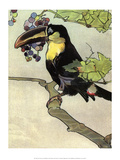 Bird Illustration  The Toucan  1899