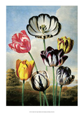 Botanical Print  Tulips