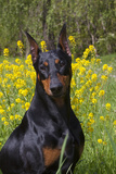 Doberman Pincher  Portrait  in Wild Mustard in Meadow  St Charles  Illinois  USA