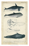 Antique Whale & Dolphin Study I