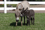 Brown Donkey Mare (Jenny) with Dark Foal in Clover and Grass  Middletown  Connecticut  USA