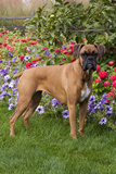 Fawn-Colored Boxer with Natural Ears Standing on Grass by Flower Garden  Geneva  Illinois  USA