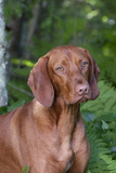 Portrait of Vizsla Standing by Summer Vegetation  Marlborough  Connecticut  USA