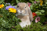 Holland Lop Rabbit on Club Moss Among Flowers  Torrington  Connecticut  USA