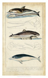 Antique Whale & Dolphin Study II