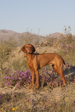 Vizsla Standing in Desert Spring Wildflowers  Mojave Desert  Southern California  USA