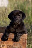 Black Labrador Retriever Pup in Antique Wooden Egg Box  Woodstock  Illinois  USA