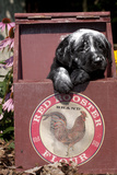 Portrait of Black Labrador Retriever Pup Streaked with Four in Flour Box  Norwich