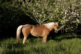 Palomino Horse Standing by Apple Tree in Early Evening  Fort Bragg  California  USA