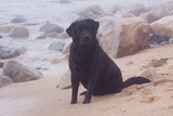 Black Labrador Retriever in Fog Sitting at Edge of Surf on Rocky Beach  Charlestown