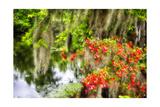 Spanish Moss and Azalea  South Carolina