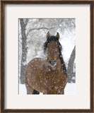 Bay Andalusian Stallion Portrait with Falling Snow  Longmont  Colorado  USA