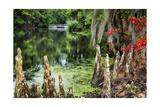 Swamp Cypress With Spanish Moss And Azalea