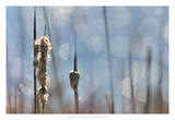 Light Dance on Cattails II