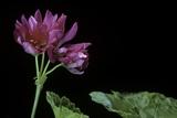 Pelargonium X Hortorum 'Star of Persia' (Common Geranium  Garden Geranium  Zonal Geranium)
