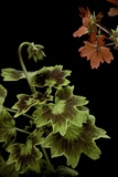 Pelargonium X Hortorum 'Golden Ears' (Common Geranium  Garden Geranium  Zonal Geranium)