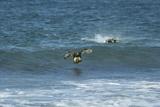 Falkland Flightless Steamer Duck