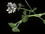 Pelargonium Inodorum (Scentless Geranium)