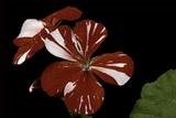 Pelargonium X Hortorum 'New Life' (Common Geranium  Garden Geranium  Zonal Geranium)