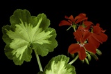 Pelargonium X Hortorum 'Happy Thought' (Common Geranium  Garden Geranium  Zonal Geranium)