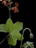 Pelargonium Tongaense (Tonga Geranium)