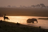 African Elephant Drinking at Sunset