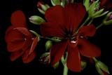 Pelargonium X Hederaefolium 'Solo' (Ivy-Leaf Geranium)