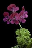 Pelargonium X Unique 'Jessels Unique' (Unique Geranium)