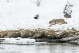 Bobcat Stalking a Muskrat