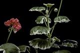 Pelargonium X Hortorum 'Benjamin Franklin' (Common Geranium  Garden Geranium  Zonal Geranium)