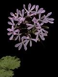 Pelargonium Zonale (Horseshoe Geranium  Horseshoe Stork's-Bill)