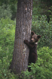Grizzly Cub on Tree