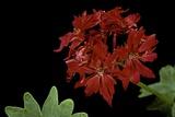 Pelargonium X Hortorum 'Fandango' (Common Geranium  Garden Geranium  Zonal Geranium)