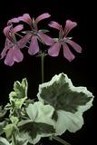 Pelargonium X Hederaefolium 'Duc D'anjou' (Ivy-Leaf Geranium)