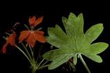 Pelargonium X Hortorum 'Red Startel' (Common Geranium  Garden Geranium  Zonal Geranium)