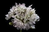 Pelargonium X Hortorum 'Pagoda' (Common Geranium  Garden Geranium  Zonal Geranium)