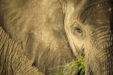 Elephant Feeding on Grass  Chobe National Park  Botswana